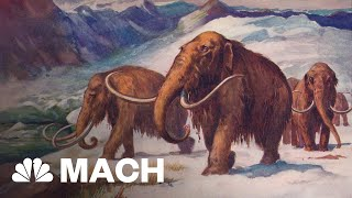 Scientist Tries To Bring The Woolly Mammoth Back From The Dead | Mach | NBC News