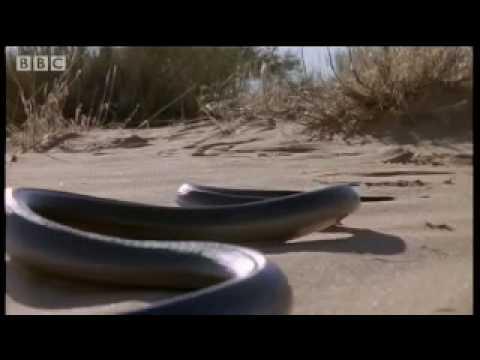 How snakes move & run Serpent BBC Animals
