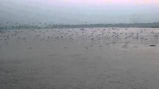 বাংলাদেশের অতিথি পাখি (কিশোরগঞ্জ এর নরসুন্দা নদী)