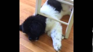 Puppy grows too big for favorite hiding place