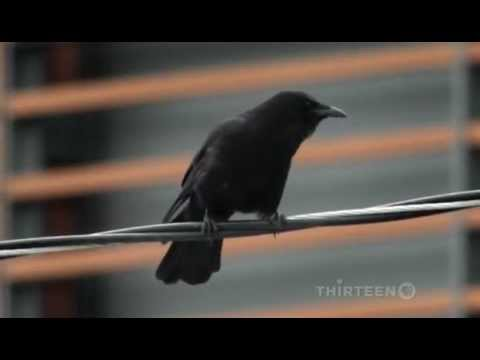 Crows Documentary on The Intelligent World of Crows Full Documentary
