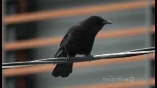 Crows : Documentary On The Intelligent World Of Crows (Full Documentary)