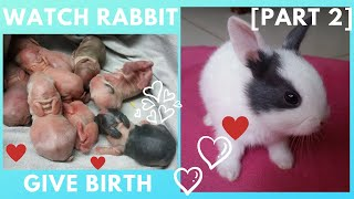 My rabbit giving birth to her 8 baby