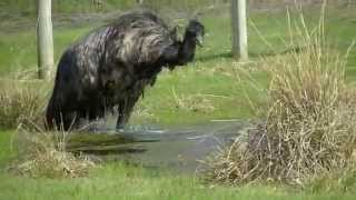 Crazy Emu Jumping for Joy and Taking a Bath