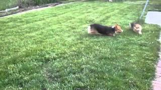 corgi puppies having a blast.