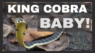 BABY KING COBRA! งูจงอาง Coolest Venomous Snake Ever? - Thailand Snakes
