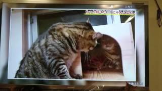 ついにテレビ出演した我が家のベンガル猫軍団&ミッキー