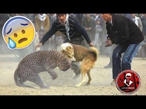 TOP 10 INCREÍBLES PELEAS ENTRE ANIMALES CAPTADAS EN VÍDEO