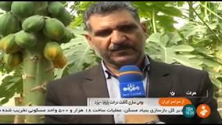 Iran Papaya greenhouse & packaging, Khatam county گلخانه ميوه پاپايا شهرستان خاتم ايران