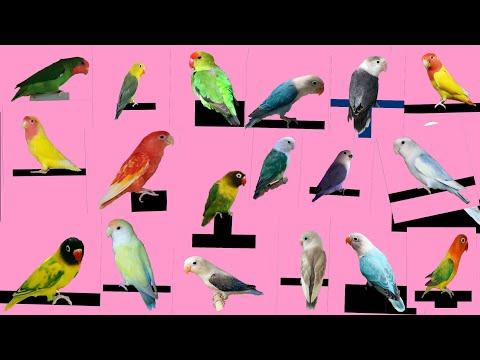 Top 26 Different type of Love Bird