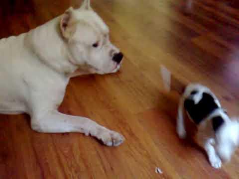 Dogo vs puma