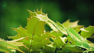 🎧 Rain On Leaves Sound - Relaxing Ambience Of Raindrops On Vegetation For Relaxation And Sleeping