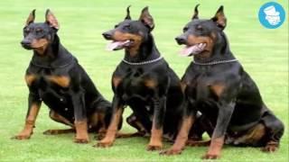 قائمة أخطر و أشرس 10 كلاب في العالم