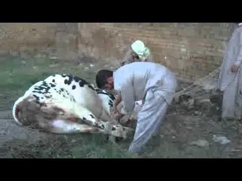 ch naeem cow qurbani 2011.mp4