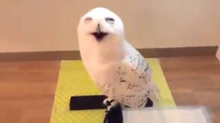 Laughing Owl - Neave TV