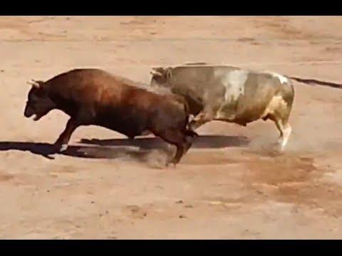 Alto Voltaje vs. Tigre Asesino 14 04 13 . Pelea de Toros en Zamácola Arequipa
