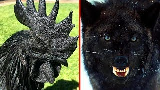 9 RAREST Completely Black Animals In The World!
