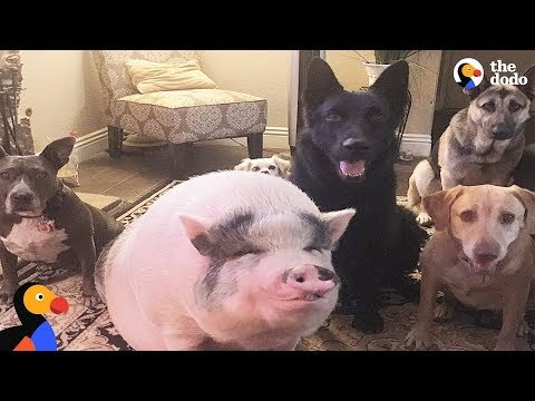 Xxx Mp4 Pig Is Smarter Than His Dog Siblings The Dodo 3gp Sex