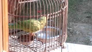 Parrot Mithu