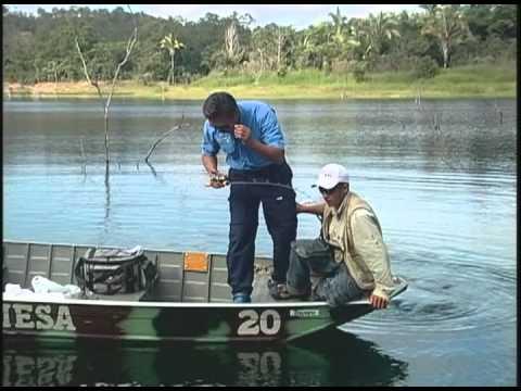 Grandes Peixes Nelson Nakamura atrás dos tucunarés.mp4