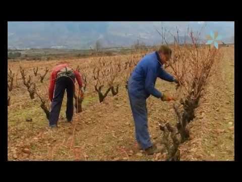 Trucos para una buena poda de viña