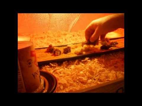 Livada cu Prepelite puii de prepelita