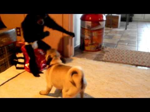 Monkey Vs. Pug Puppy
