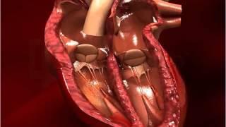 Structure of Human Heart - Class 10