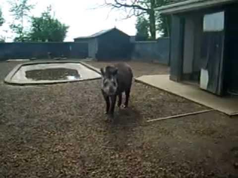 Tapir sprays urine in girls face at Twycross zoo