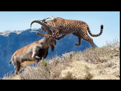 Leopard, Clever  Ibex, Musk Ox Real Fight