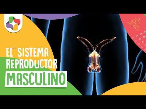 Sistema reproductor masculino Biología Educatina