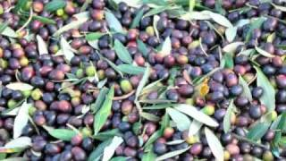 Olive Harvest and Press  - Villa Lucia, Vorno, Lucca, Tuscany, Italy