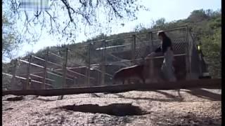 DOG BREED   Bloodhound ITA 2° Parte