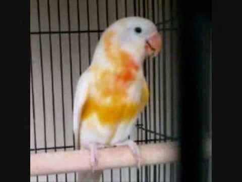 LOVE BIRDS MUTASI YANG LANGKA