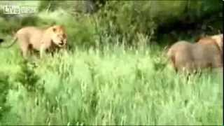 Lion Saves Baby Cows Life