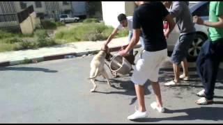 combat entre deux chiens à azazga