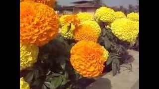 Indian Large Inca Marigold Flower
