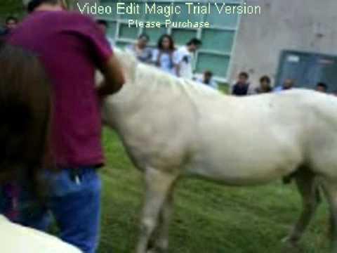 castracion de equino