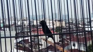 Kolibri Ninja isian menggila durasi panjang .