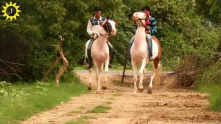 Indian,Marwari horse