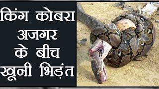 Bizarre: King Cobra and Python के बीच Fight और ये हुआ अंजाम । वनइंडिया हिंदी