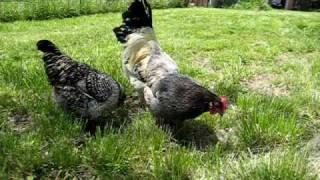 Here Chicky Chicky.AVI