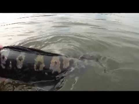 20Ibs 9KG Monster MAMA Toman Giant Snakehead Wild Fishing Thailand By BKKGUY