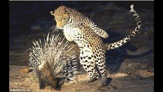 الحياة البرية   الفهود و النمور تُحاول إفتراس النّيص ، و لكن ما فعله هذا الحيوان لا يصدق !!