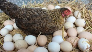 "Hen Harvesting Eggs to Chicks | Country Eggs to New ""BORN"" Murgi Birds Smallest chicks (FishCutting)"