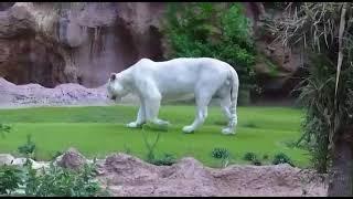 white tiger white lion vs tiger black jaguar