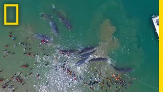 Watch a Rescue Effort to Save 10 Stranded Whales | National Geographic