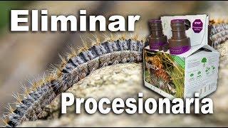 Como eliminar la oruga procesionaria del pino | Inyecciones procesionaria del pino fertinyect