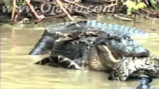 افعى تهاجم تمساح  ونهاية غريبة