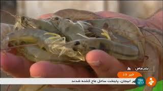Iran Vannamei shrimp farming, Kulaghan-e Dartujan village, Bandar-e Abbas county پرورش ميگو كولغان